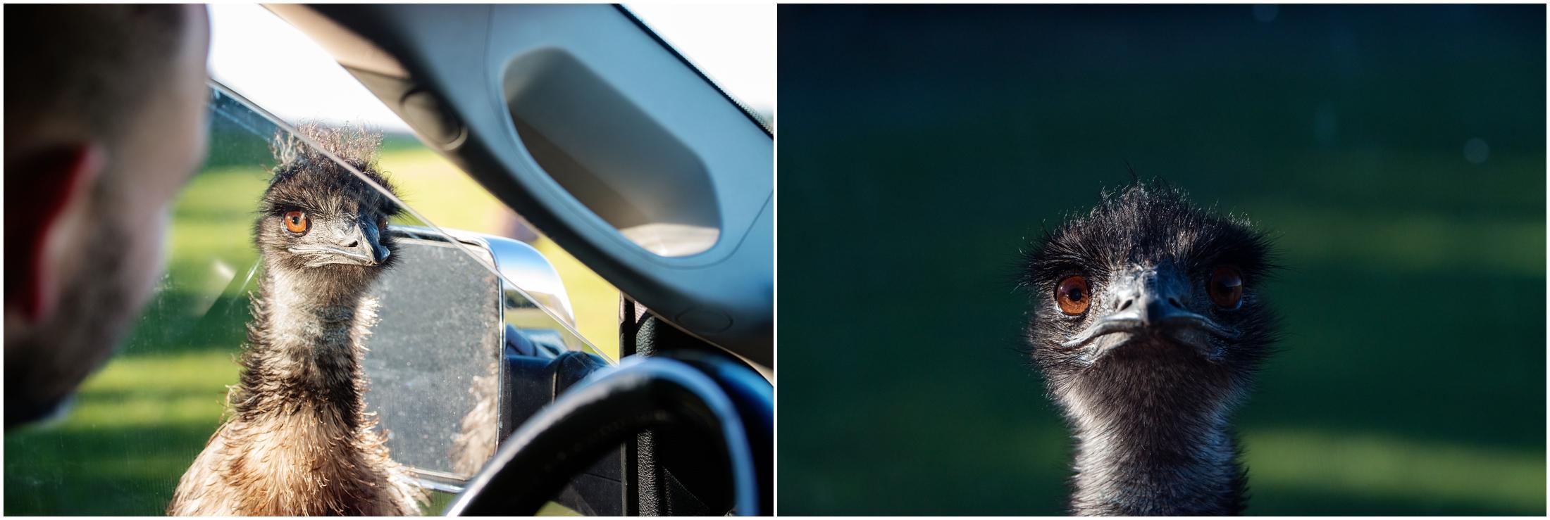 photo of emu at car door window